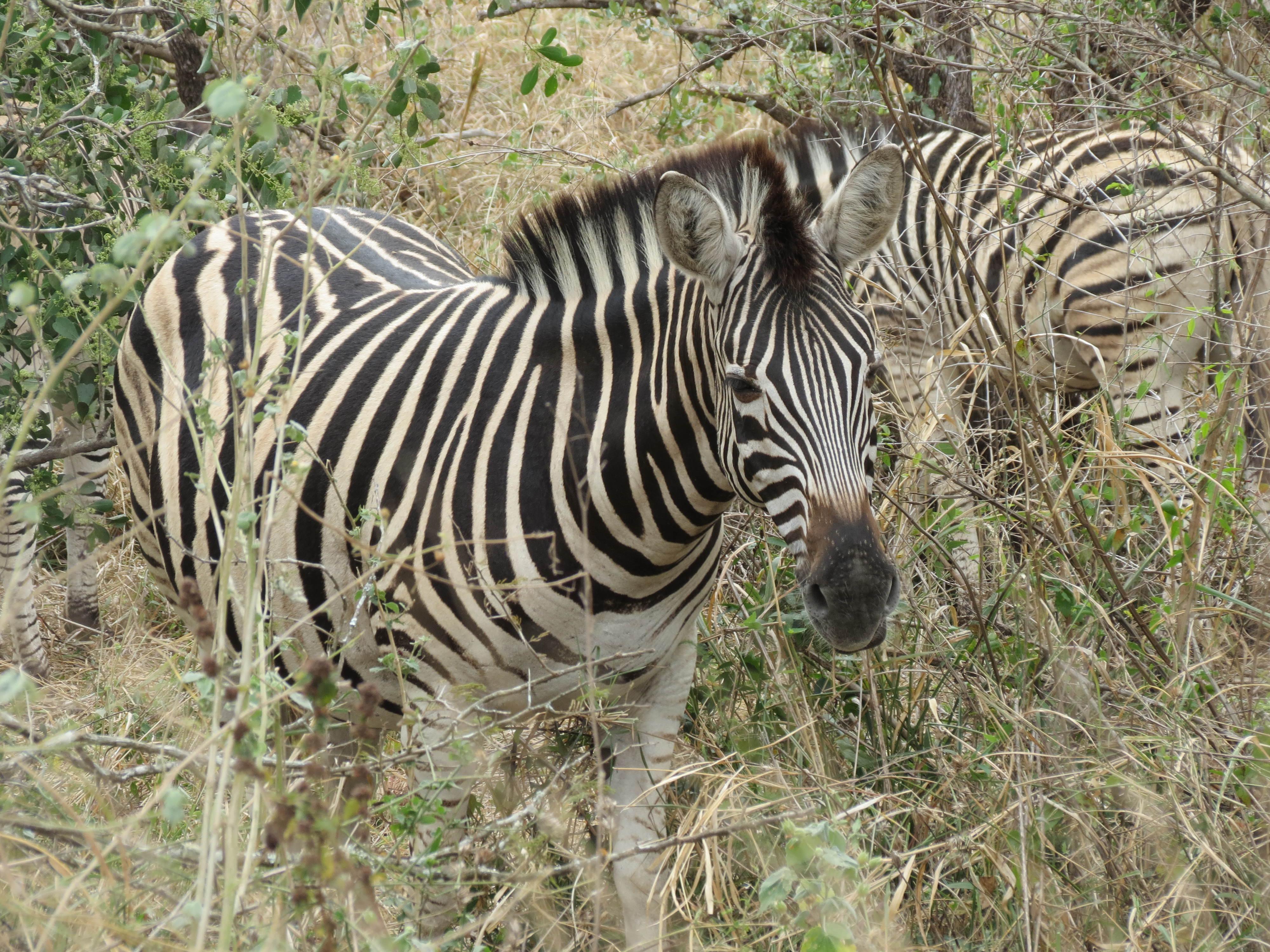 Zebras in Kruger