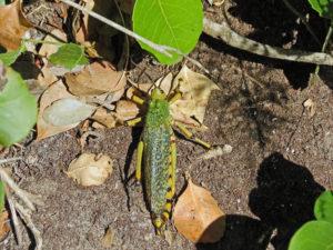 Robberg Nature Reserve - Grasshopper