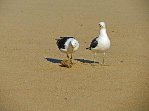 Robberg Nature Reserve - Kelp Gull