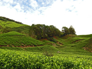 Cameron highlands thee plantations