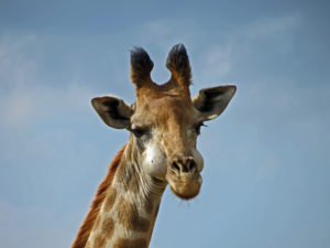Hluhluwe giraffe