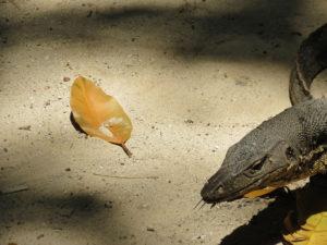 Monitor lizards, Tunku Adbul Rahman, Malaysia