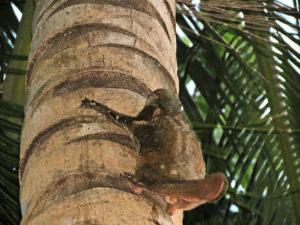Flying lemur - Perhentians Malaysia