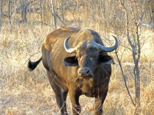Buffalo Kruger Park South Africa