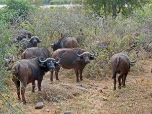 Buffalos Kruger Park South Africa