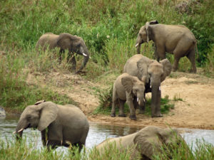 Elephants Kruger Park South Africa