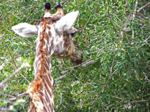 Giraffe Kruger Park South Africa