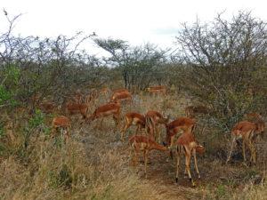 Impalas Kruger Park South Africa