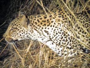 Leopard Sprint Sabi Sands Kruger South Africa