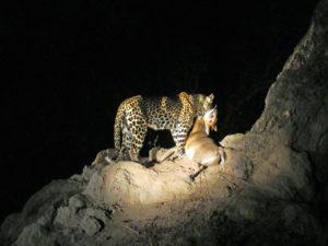 Leopard With Prey Sabi Sands Kruger South Africa