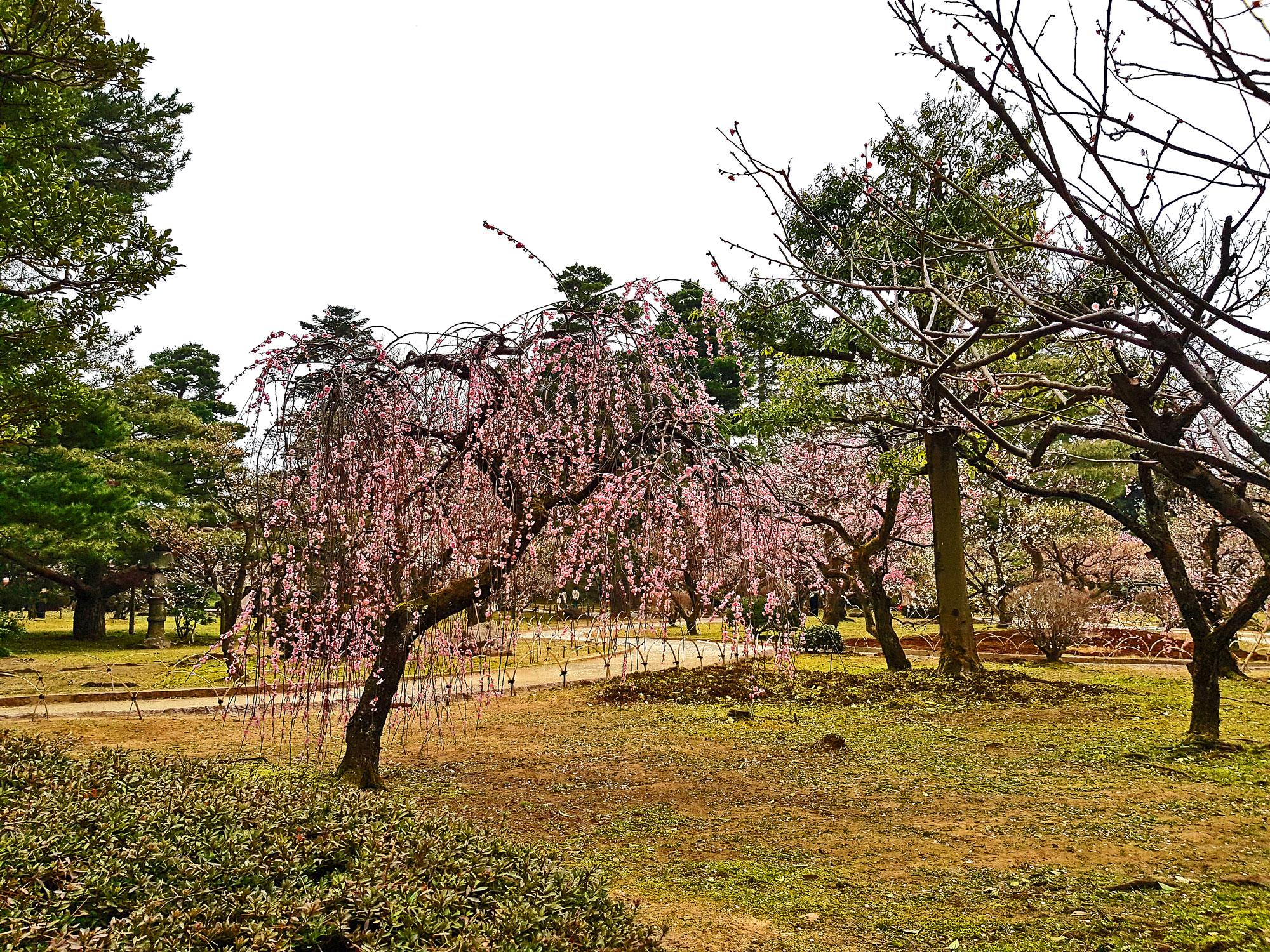 Shinjuku Gyoen - Tokyo - Cherry Blossoms
