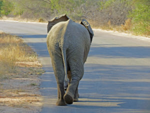 Elephant on road Kruger Park South Africa