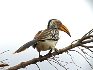 Southern Yellow Billed Hornbill Kruger Park South Africa