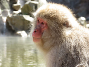 Snow Monkey - Jigokudani - Yudanaka - Japan