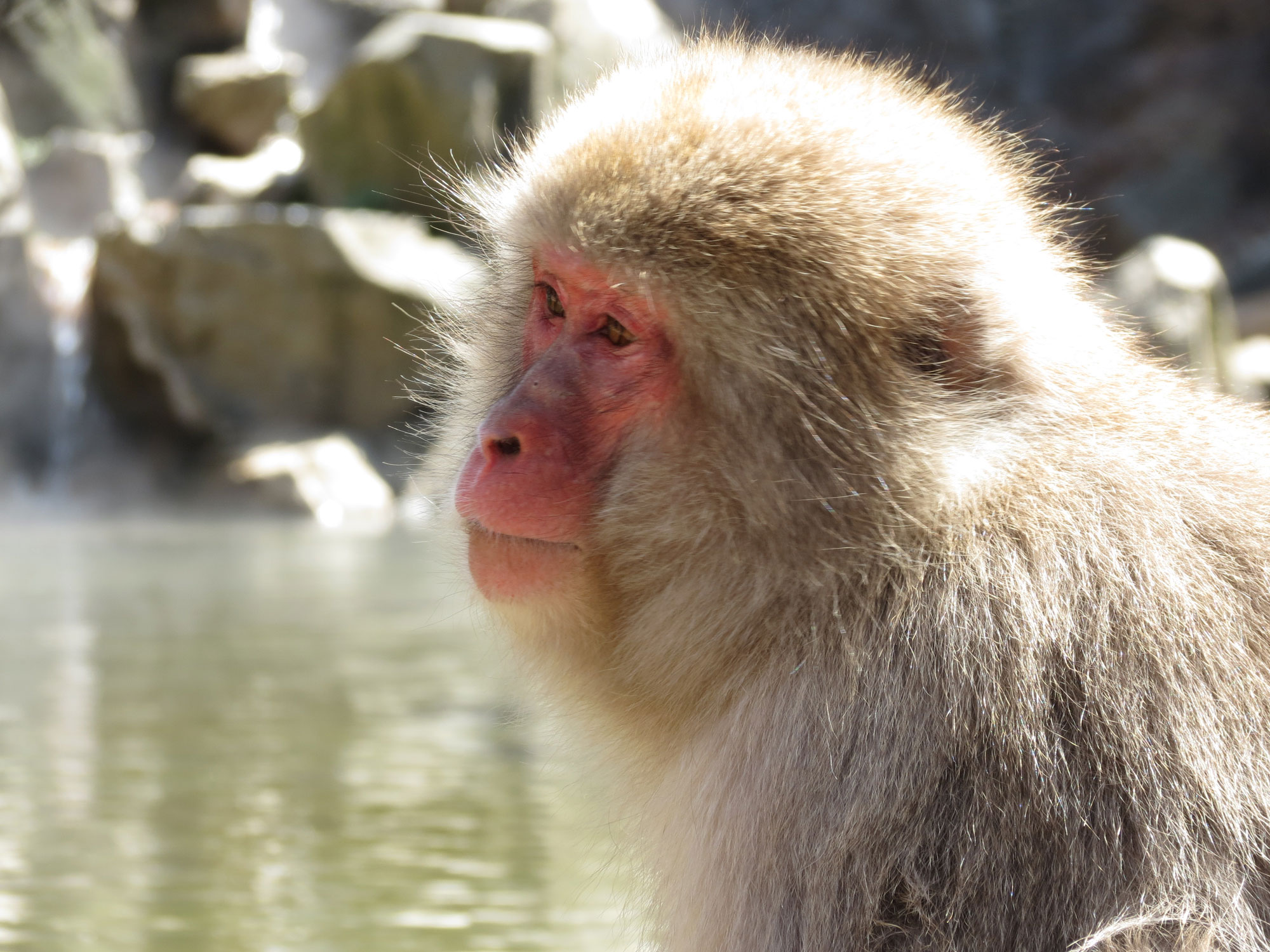Snow Monkey - Jigokudani - Yudanaka - Japan