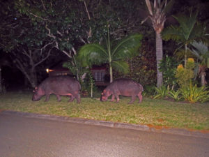 Hippos grazing Street, Santa Lucia, South Africa