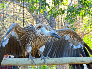 Vulture, Moholoholo rehabilitation centre, South Africa