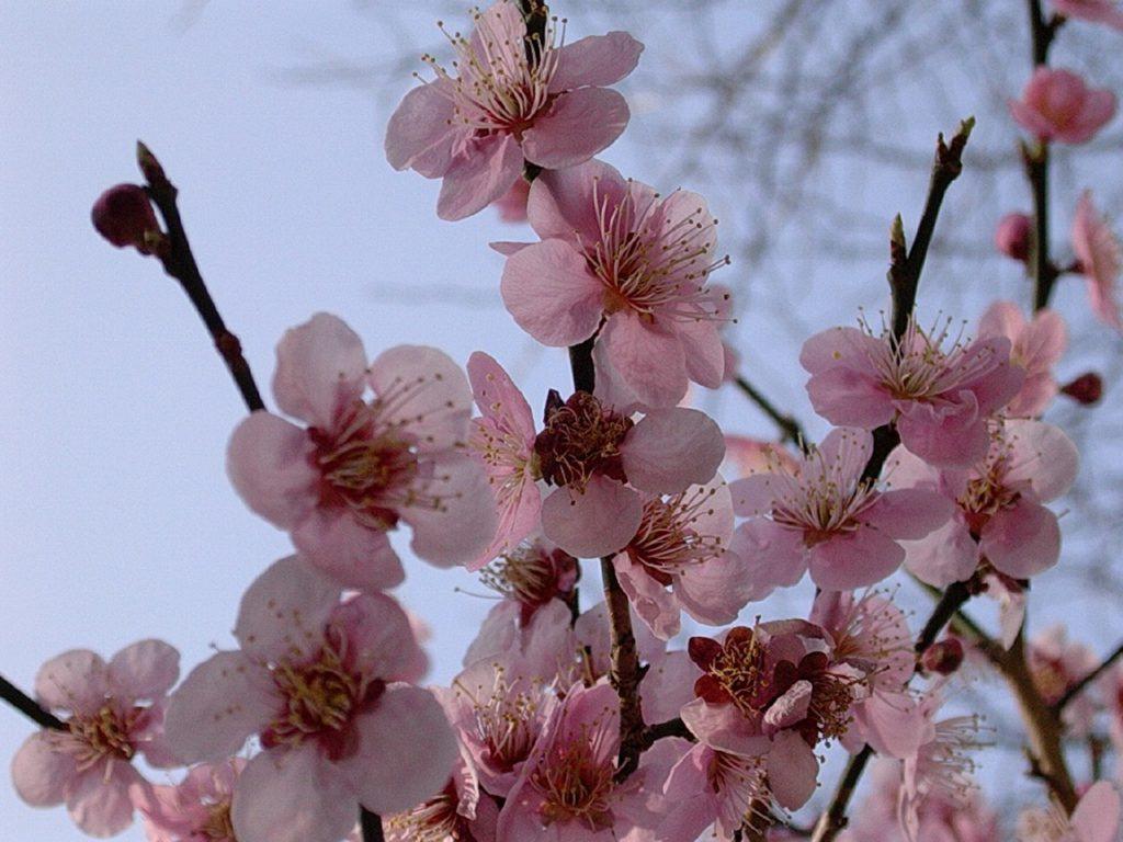 Cherry blossoms South Korea