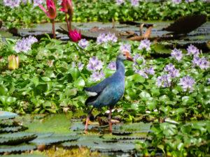 Bird backwaters Kumarakom, Kerala, India