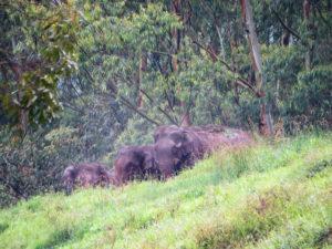 Elephants Munnar, India