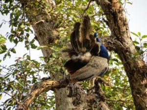 Ranthambore Peacock, India