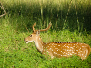 Ranthambore deer, India