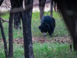 Ranthambore sloth bear, India