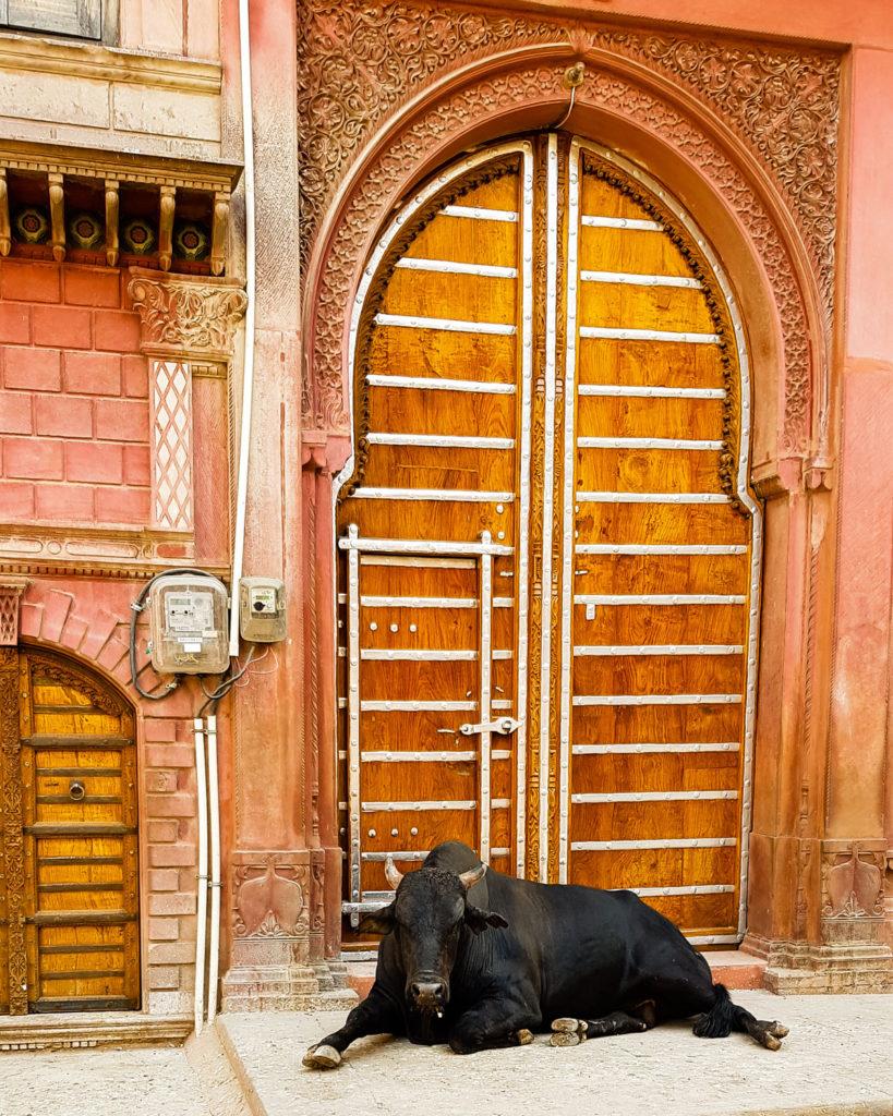 Cows Bikaner India