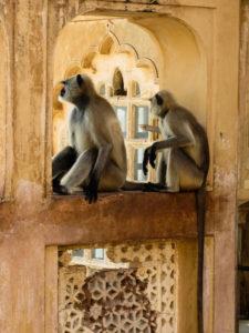 Monkeys Amer fort Jaipur, India