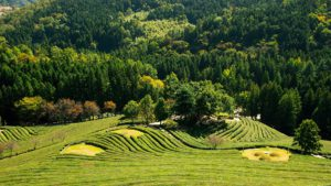 Boseong tea plantations, South Korea