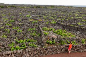 UNESCO Vineyard Pico Azores, Portugal