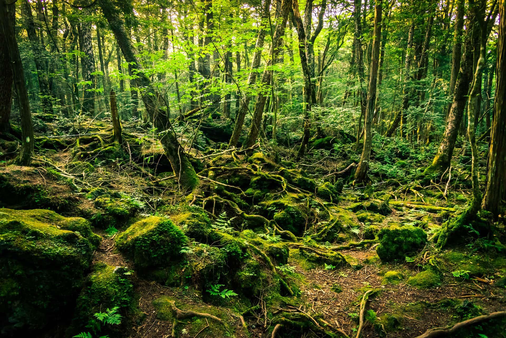 Aokigahara Suicide Forest Mt. Fuji Japn