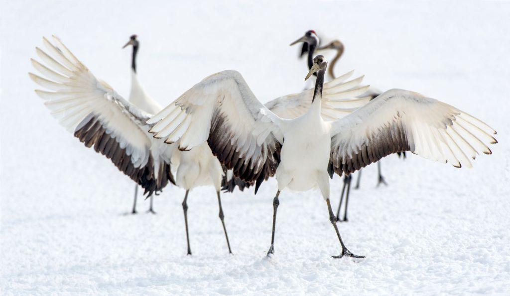 Cranes Hokkaido Japan Winter
