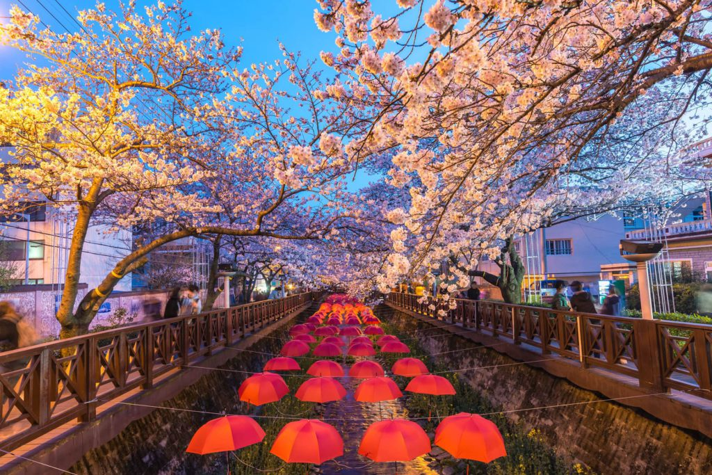 Cherry Festival Yeojwacheon Stream Jinhae