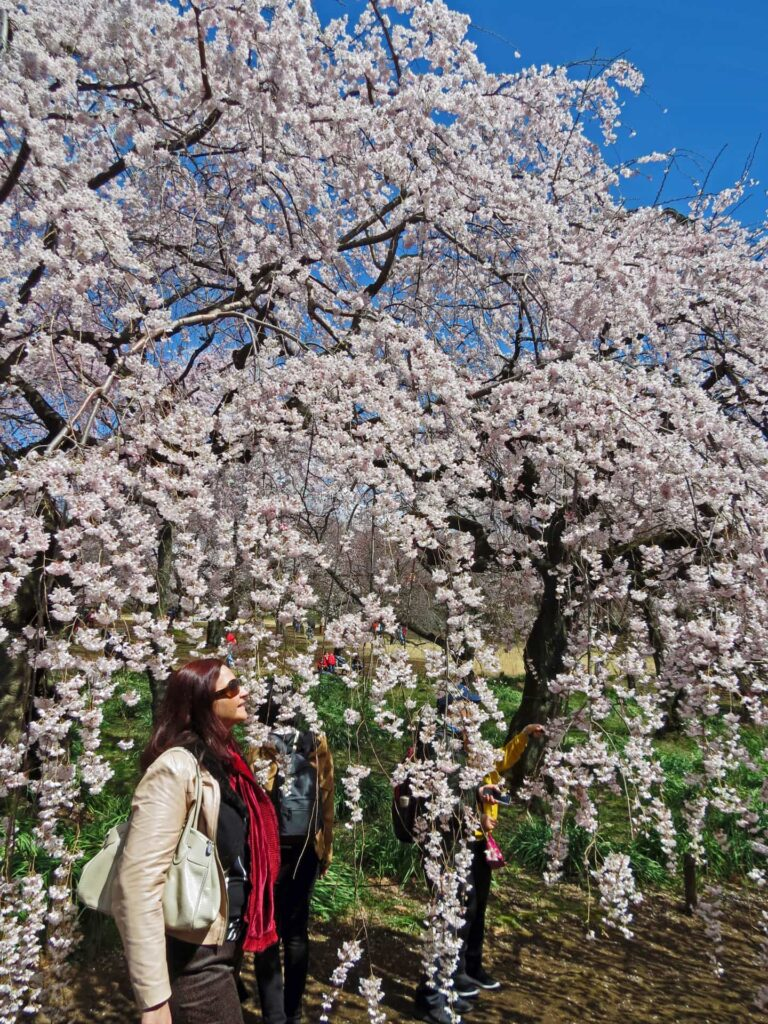 Cherry Blossoms in Shinjuku Gyoen Park in Tokyo