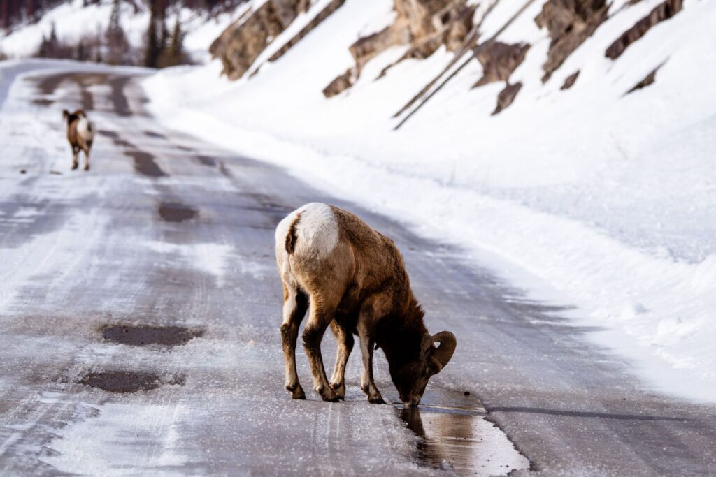 Mountain Goat on road in Banff National Park