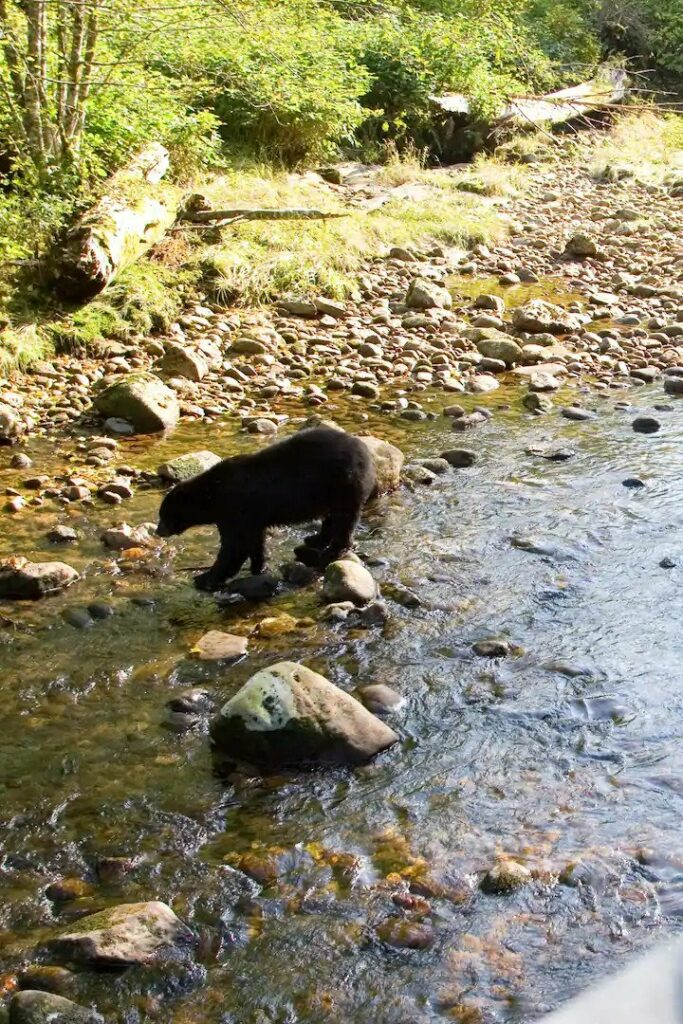 Bear in the Banff area