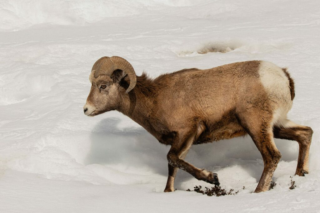 These great winter hikes in Jasper National Park offer opportunities to see wildlife such as this bighorn sheep