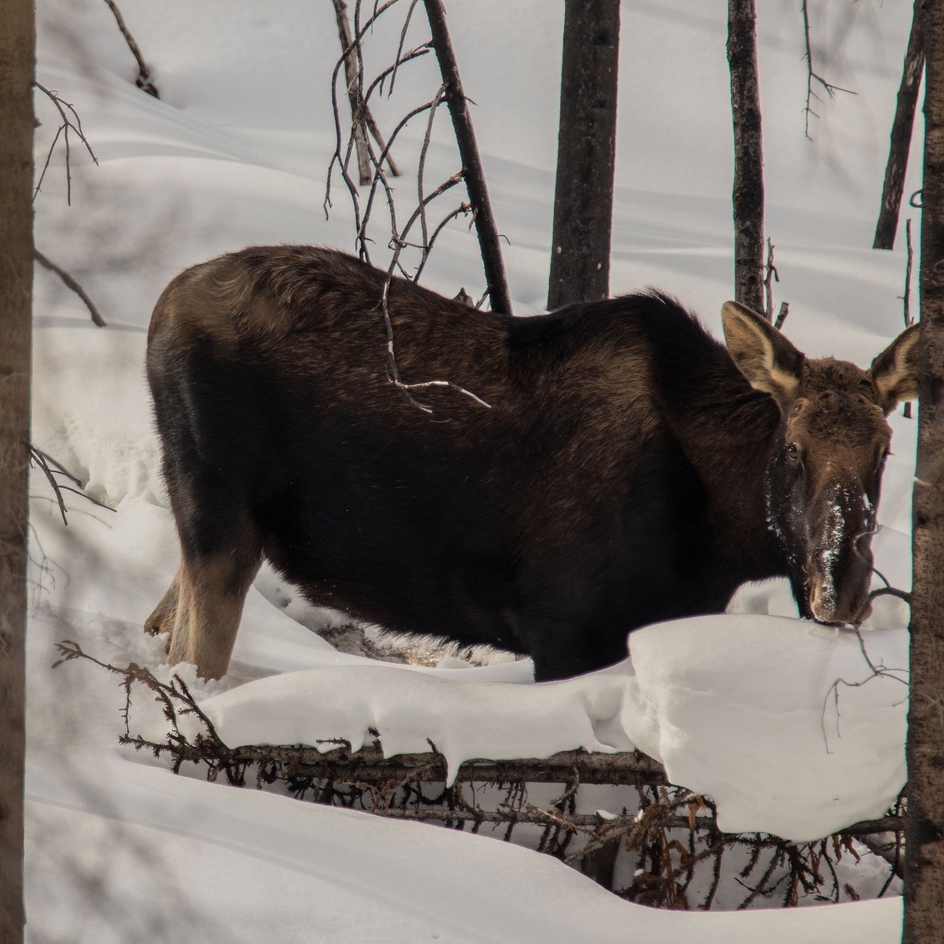Mooses can be seen around Jasper all year round