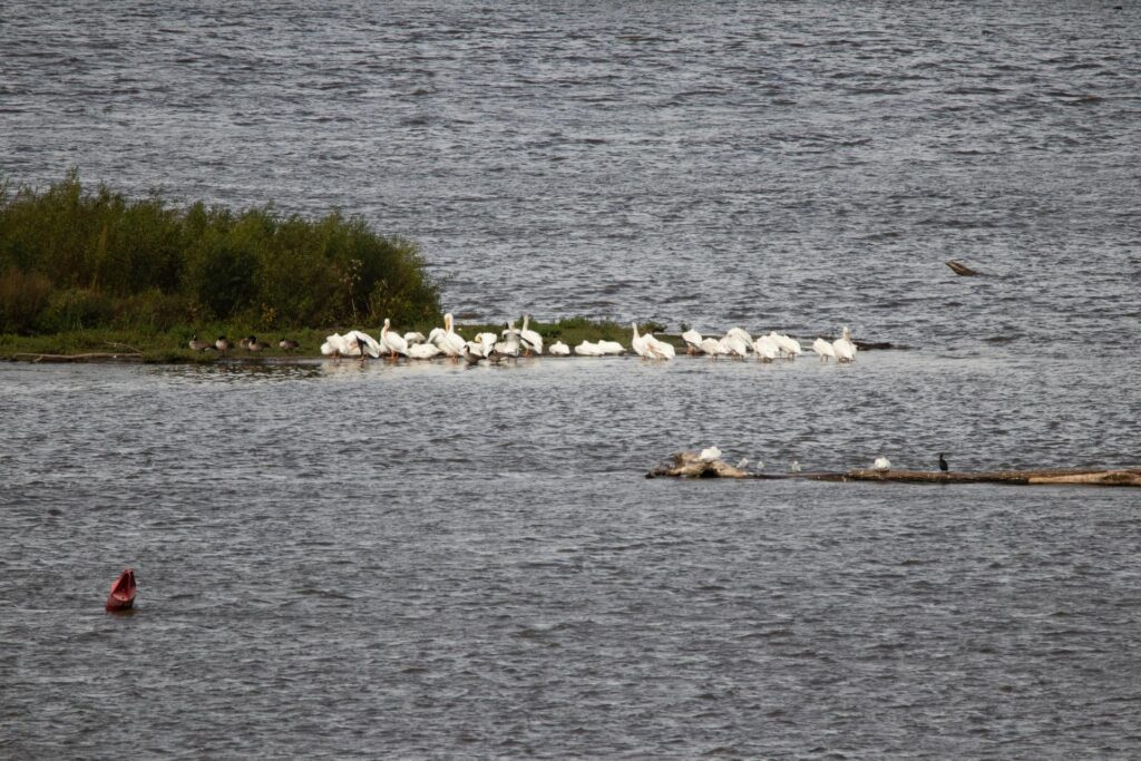 Pelicans seen from the river overlooks in Starved Rock State Park