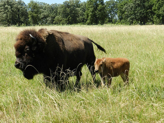 The chance to spot bison makes the buffalo viewing trail such an amazing trail in Illinois
